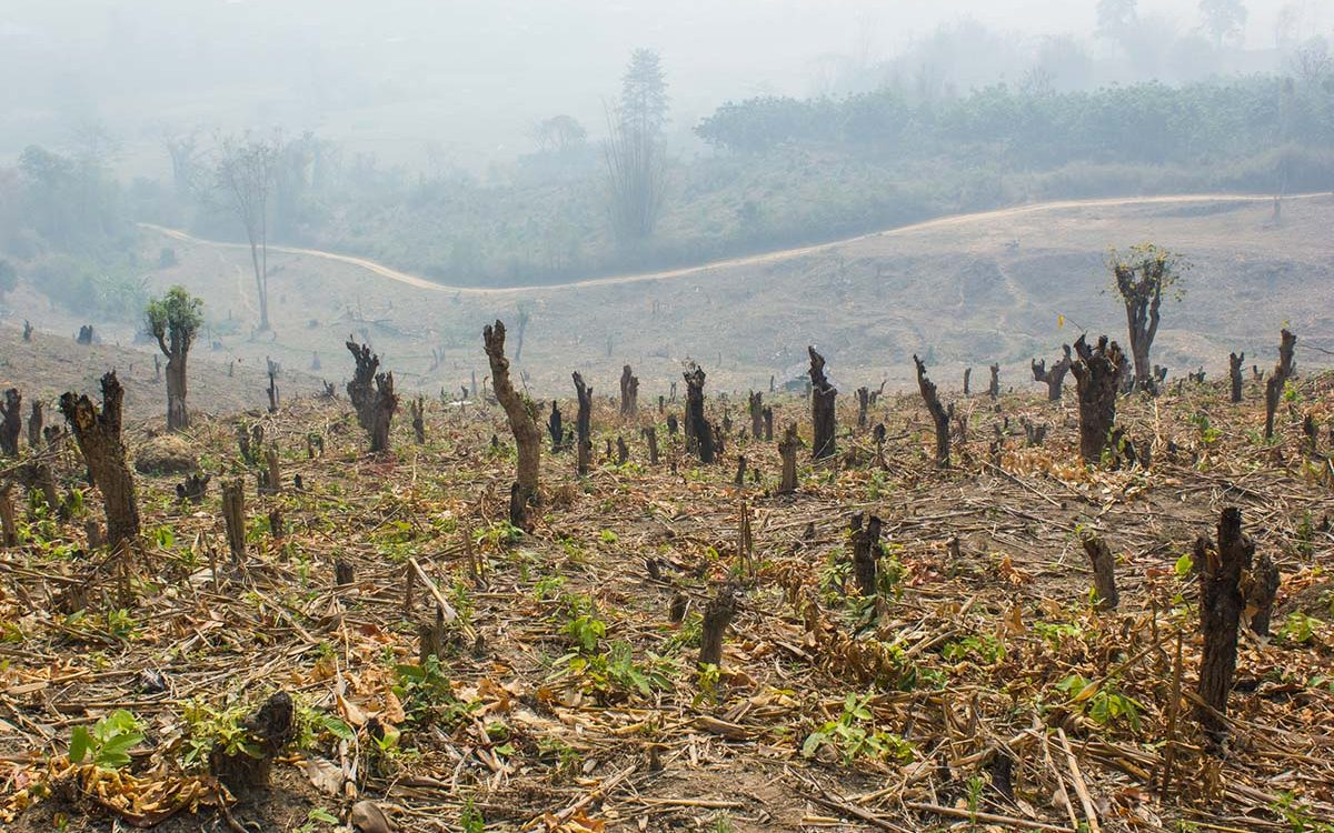 Slash and burn cultivation, rainforest cut and burned to plant c