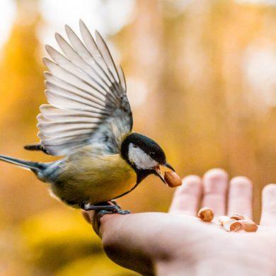 krimpende-vogels-koolmees-thedailygreen